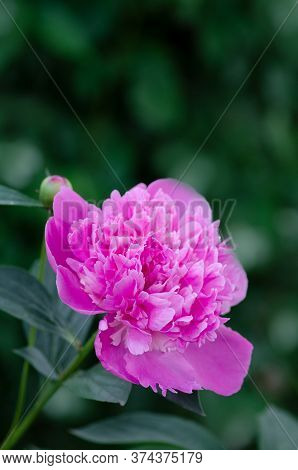 Pink Peony With Green Leaves On Blurry Bokeh Background. Landscape With Peonies Field.