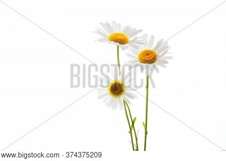 Chamomiles On A White Background Close-up, Medicinal Camomile Flowers Isolate, Yellow Middle And Whi