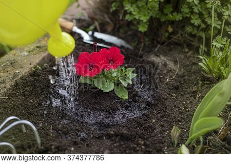 Female Gardener Waters Freshly Planted Flowers And Plants From Watering Can Close Up. Planting Petun