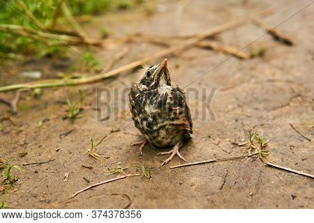 Cute Fledgling Robin Sits On The Ground