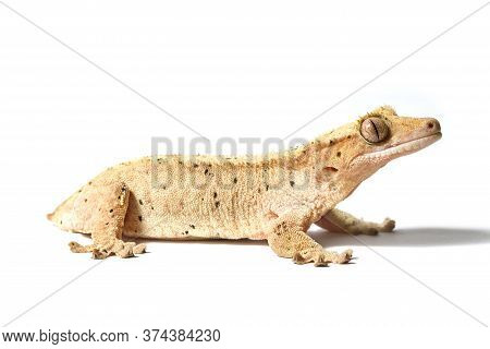 Dalmatian Crested Gecko Isolated On A White Background