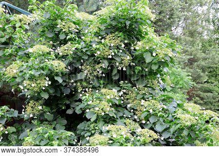 Hydrangea Petiolaris Blooming . Young Green Leaves Of Hydrangea Petiolaris In Summer. Climbing Hydra