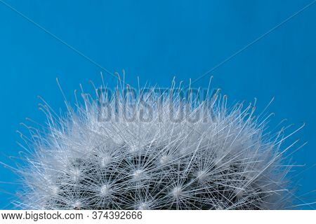 Top Detail Of Mammillaria Bocasana Cactus, Also Known As Powder Puff Pincushion. Close-up Of Fluffy