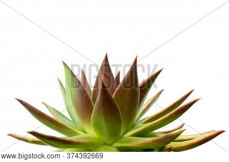 Close-up Of Green And Red Echeveria Agavoides Succulent Plant With Sharp Red Tips Isolated On White