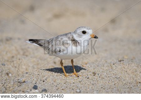 Closeup Shot Of A Piping Plover Father, Cape Cod, Massachusetts