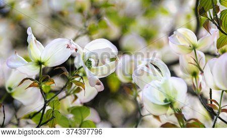 White Dogwood Flowers. Close-up Shot. Spring Background