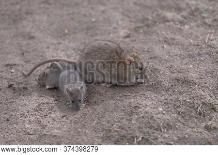 A Huddle Of Three Common Brown Rates Forage Amongst Plain Brown Damp Mud For Food, Their Fur Color C