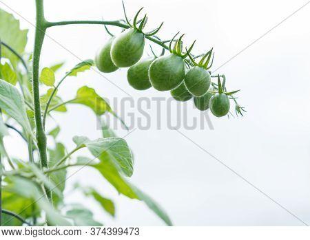 Unripe Grape Tomato Truss Hanging On Vine