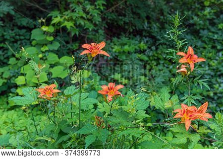A Green Summer Meadow With Vibrant Orange Tiger Lillies In Freneau Woods Park In Monmouth County New