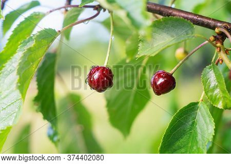 Cherry Tree Branch With Berries In Summer