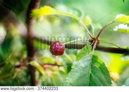 Cherry Tree Branch With Berry In Summer