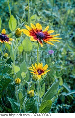 Rudbeckia Flower Blossoms In Summer. Close View.