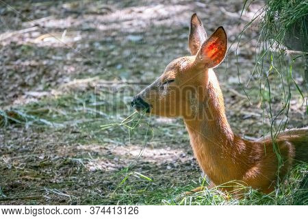A Young Sika Deer Lying On The Ground And Grass. The Sika Deer, Cervus Nippon, Also Known As The Spo