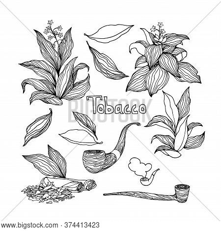 Set Of Tobacco Bushes With Leaves, Smoking Pipes, Agricultural Plant, Vector Illustration With Black
