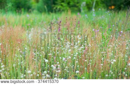 Retro Flowers Background. Field Of Blooming White Dandelions.