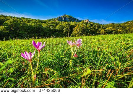 Crocus Vernus, Purple Flowering Plant In Close-up View With Mountain Landscape On A Background. The