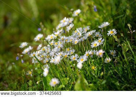 Oxeye Daisy Flowers, Latin Name Leucanthemum Vulgare. Using Shallow Depth Of Field.