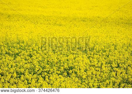 Field Of Oilseed Rape In The Spring.