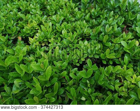 Ixora Chinensis  Small Leaves Green Bush Tree Texture Nature Background