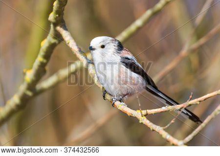 Long-tailed Tit On Branch (aegithalos Caudatus) Cute Little Bird