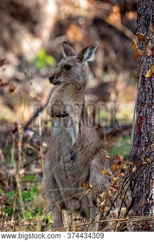 An Australian Kangaroo Standing On Its Hind Legs Looking Around And Having A Scratch In A Bushland S