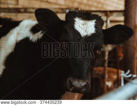 A Black And White Cow Stands On The Farm. Cow Close-up. Cow Eats Hay.