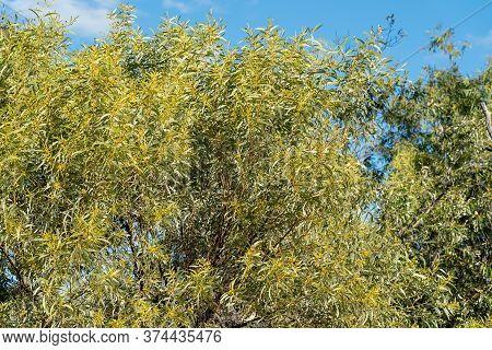 An Australian Wattle Tree Flourishing In Bushland