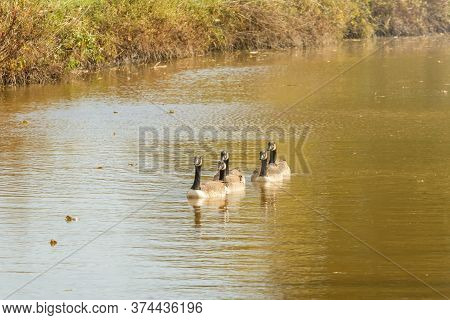 Canadian Geese In The Lake Autumn (branta Canadensis)