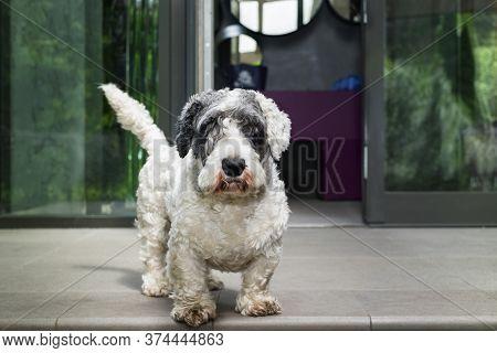 A Brave Looking Terrier Standing Against A Doorway, Outdoor Shot