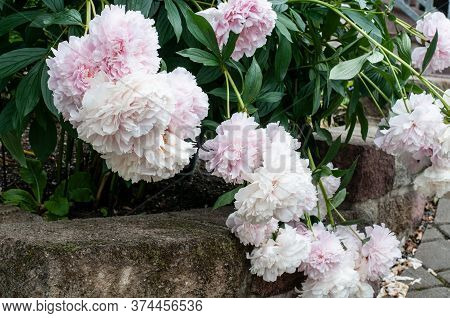 Blossoms Of A White And Pink Flowering Peony Bush Hanging Over A Garden Wall