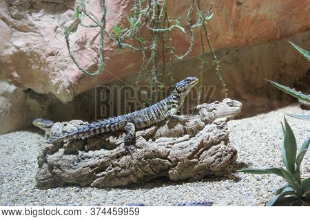 Steppe Agama, Trapelus Sanguinolentus Nature Desert Habitat Asiation Part On Russia And Kazakhstan