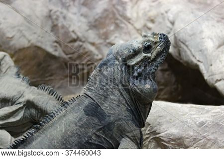 A Monitor Lizard Sits In A Cave On The Stones And Stares Intently At The Camera.