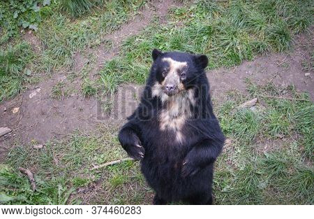 The American Black Bear (ursus Americanus, Previously Known As Euarctos Americanus) Stands On Its Hi