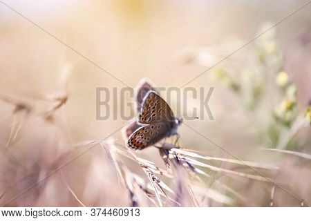 Beautiful Adonis Blue Butterfly On Plant In Field, Closeup