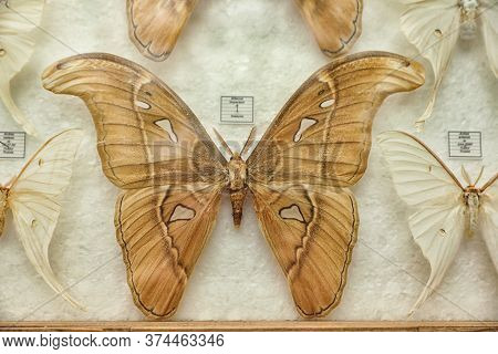 Beautiful Attacus Imperator Butterfly On White Background