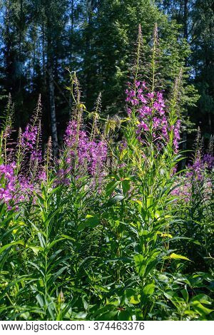 Chamaenerion Angustifolium, Known In North America As Fireweed, In Some Parts Of Canada As Great Wil