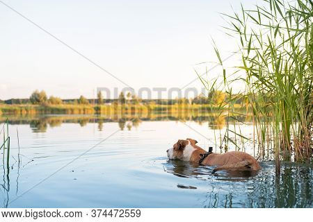 Dog Cools Down In A Swamp On A Hot Summer Day. Pets Loving Water, Swimming In The Pond And Enjoying