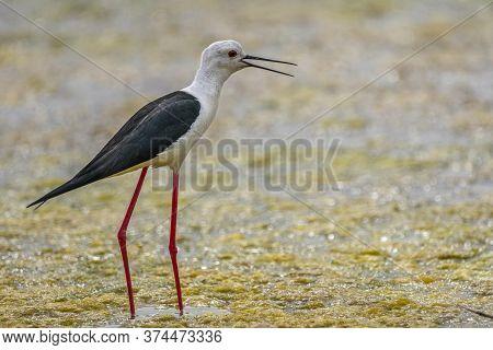 Black-winged Stilt (himantopus Himantopus) In \