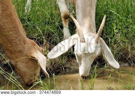 Goat Goat Watering Drought Drink Thirst Drink Water Animals Goat Autumn Summer Nature