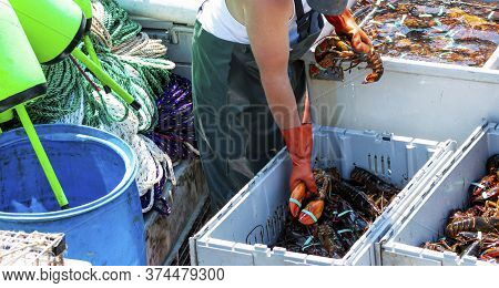 Fisherman Is Sorting His Fresh Caught Live Maine Lobsters In To Seperate Bins By Size On His Fishing
