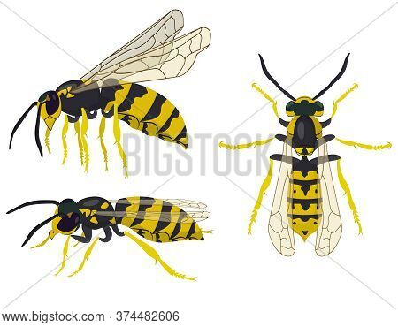 Wasp In Different Poses. Insect In Cartoon Style.