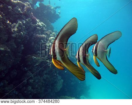 Longfin Buttfish. Fishes - Osteichtnes Type Bony Fish. Plataks - Efippida. Long-fin Plataks.