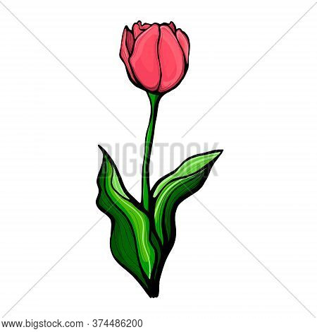 Sketch Illustration With Green Hand Drawn Tulip Stem.tulip On A Stem With Leaves, Isolated On A Whit