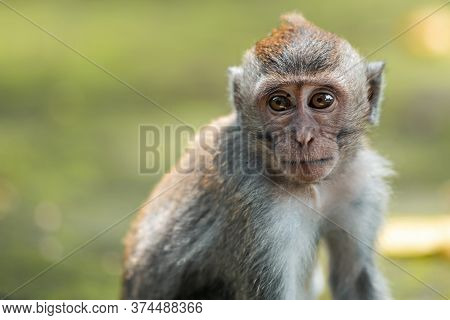 Close Up Portrait Of Macaque Monkey Sits On The Mossy Steps Of The Temple. Blurred Background. Monke