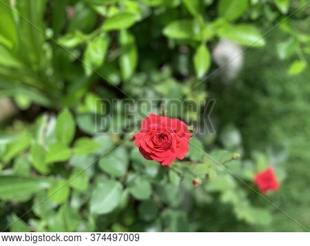 Selective Focus At The Bright Red Rose On The Green Background