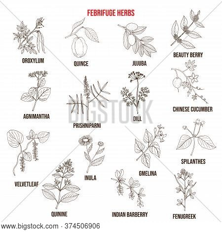 Febrifuge Herbs Collection. Hand Drawn Vector Set Of Medicinal Plants