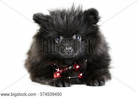 Pomeranian Puppy Spitz, Isolated. Cute Black Pomeranian With Red Beads, White Background. Family Fri