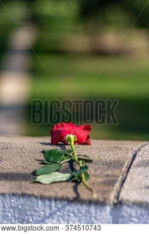 Discarded Red Rose Left As Symbol Of The Unrequited Love