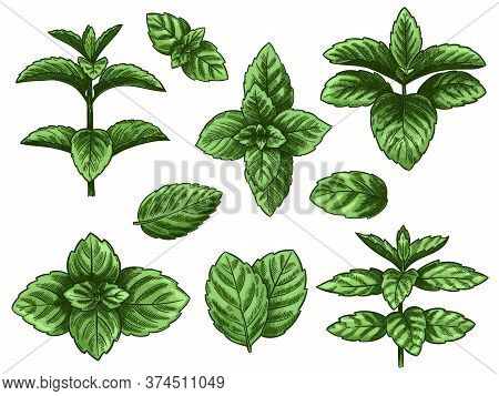 Green Mint Leaves. Sketch Peppermint Herb, Spearmint Plant. Melissa Menthol Leaf Vintage Hand Drawn