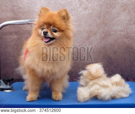 Grooming A Pomeranian Dog. Closeup Of Professional Groomer Trimming Little Pomeranian Spitz. The Pom